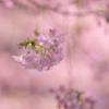 こちらも見頃に:三菱ケミカルの河津桜
