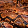 オーストラリアに蛇はいますか?います(驚愕の映像)