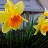 アパートの花たち