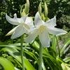 インドハマユウ⇒アフリカハマユウ 鎌倉おんめさまの小径.アガパンサスが途切れた先に,大きく力強い白花.ユリかと思いましたが「インドハマユウ」の名がつけられていました.この立派な白花は,明治時代に導入.  長らくインドハマユウ Crinum latifolium とされてきました.ところが---  後に,南アフリカ原産のCrinum bulbispermumと判明.白花は,かなり珍しいようで,導入されたのが白花だったため,同定に手間取ったと言えそうです.