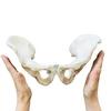 骨盤の運動のやり方(自分用)