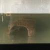 相棒のミシシッピニオイガメ