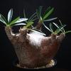 グラキリスの光合成と鉢について考える