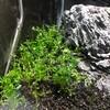 セイロン・ロターラ を植える(11日目)