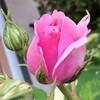 バラが咲き始めました!一番手はピンクのお気に入り ちゃん♡