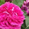 シャルルドミル 艶やかな容姿は女王の風格