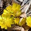 1番咲きのフクジュソウと自然観察開始