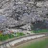 京都山科近郊の桜探訪(25)