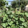 【家庭菜園】自宅の野菜の様子、収穫物