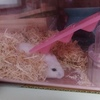 ハムスターは温度管理が大切!巣材を集めて暖をとるジョセフィーヌ