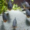 ピラニアナッテリーPygocentrus nattereri