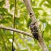 蝉がうるさい季節が始まりました 映画 八日目の蝉 シマトネリコのクマゼミ写真