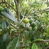 果実の着果状況