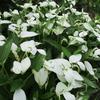「まつこの庭」・夏の花