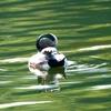 初アメリカヒドリとプールで泳ぐマガモ[服部緑地][桃山公園][千里南公園]2016.10.30