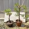 樹木医師の盆栽に魅せられて、其ノ七
