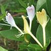 今日の誕生花「キンギンボク」ひとつの枝に黄色い花と白い花が!
