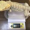 新年最初の体重測定(フトアゴ)