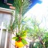 庭木で正月飾り