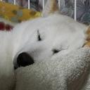 白柴犬との日がな一日