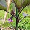 茄子の一番花 さつまいもと里芋の芽