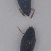 コオナガミズスマシの雌雄の交尾器