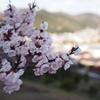 2018年3月22日の杏(あんず)の花