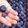 格安でお腹いっぱいブルーベリーを食べられるメルボルン郊外の観光農園 -Jay Berries-