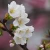 春爛漫の早咲き桜