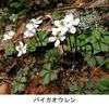 バイカオウレン(梅花黄蓮/梅花黄連) バイカモ,キンバイソウに負けず人気の山野草.「梅に似た花をつけるオウレン」という名前がつけられました.  オウレンは,根が生薬「黄連」として用いられるためとても有名.オウレンという植物名&生薬名(そして属名にもなっている)は,生薬として用いる根茎の形状と断面の色に由来するようです. 「梅/梅花の名前が付けられた植物」5