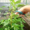 収穫量を上げるモロヘイヤ栽培のコツは摘芯作業!小さな畑でも収穫増量を目指す。