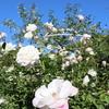 【アラ還さんぽ】イングリッシュガーデンの秋薔薇。金曜日の疲れた心に。