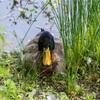 【写真】最近の写真撮影(2017/5/20)昆陽池公園その1