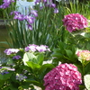 【どこかにマイルで福岡6】菖蒲や紫陽花が美しい6月の太宰府天満宮