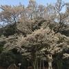 【おでかけ】護国神社&日中友好庭園(岐阜)開花状況&早咲きの鵜飼桜は満開です!