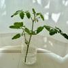 ミニトマトの挿し芽に挑戦!