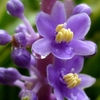 斑入りヤブランの花 2012秋