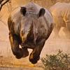 暴れるサイ (Violent rhino)