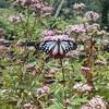 【渡り蝶】アサギマダラが見れる場所教えます!!