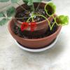 南の島のベランダガーデニング 2019年12月 イチゴを植えましたが