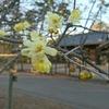 ロウバイが咲いています