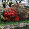 高崎城址公園周辺散歩 チューリップ・土塁のツツジ・里桜たち
