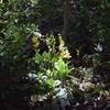 森の中で咲いていたキエビネ