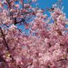 公園の桜が満開です