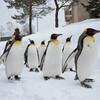 【北海道|旭山動物園】かわいすぎ!ペンギンの散歩を見に行こう!