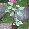 ☆新商品入荷☆濃色ピンクの花と斑入り葉がおしゃれな「斑入りボタンクサギ」など