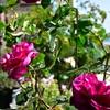 赤バラの色の違いとブルー・ムーン・ストーンの不思議