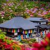 東京・青梅 - ツツジの楽園 塩船観音寺