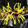 マンサクあるいはシナマンサクの黄色い花
