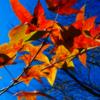 燃ゆる命の色彩よ 秋の枝葉の遠き叫びよ